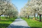 Třešňovka Stochov - Nové Strašecí (třešně): Stochov a Nové Strašecí