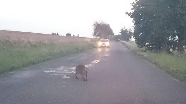 Po Čáslavsku běhá klokan Jack