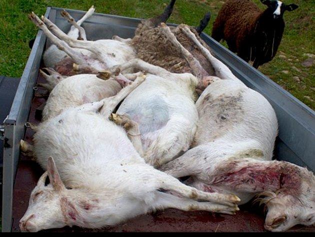 Masakr přežila jediná ovce. Ostatní musela majitelka odvézt do kafilerie.