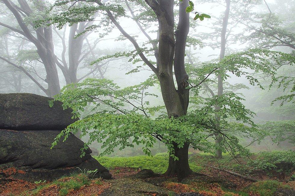 Bukový les.