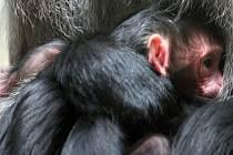 Liberecké zoo se po 12 letech narodil vzácný makak lví