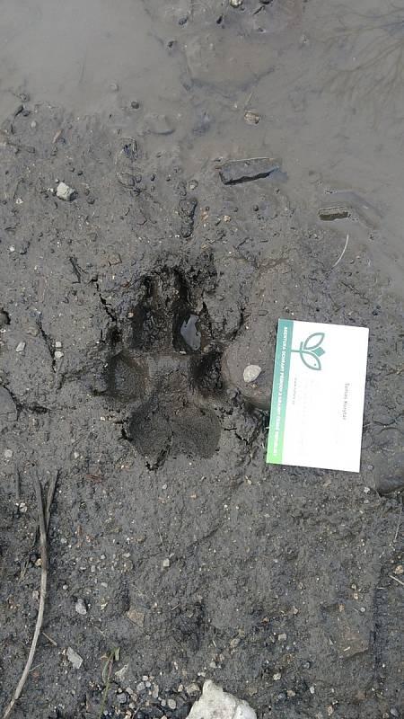 Stopa potvrzující výskyt vlka u Raspenavy.