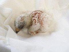 Liberecké zoo se podařilo odchovat vzácného orla nejmenšího.