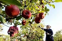 Se sklizní se na Liberecku a Turnovsku začne kolem 20. září. Jablka patří v Česku k nejoblíbenějším druhům ovoce, Češi jich snědí v průměru 23,7 kg za rok.