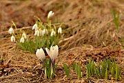Jarní krokusy