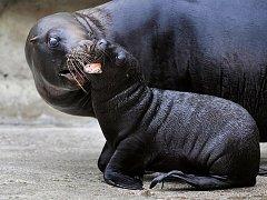Ošetřovatelé liberecké zoologické zahrady vypustili do venkovní expozice mládě lachtana hřivnatého. Samička se narodila 24. června samici Líze.