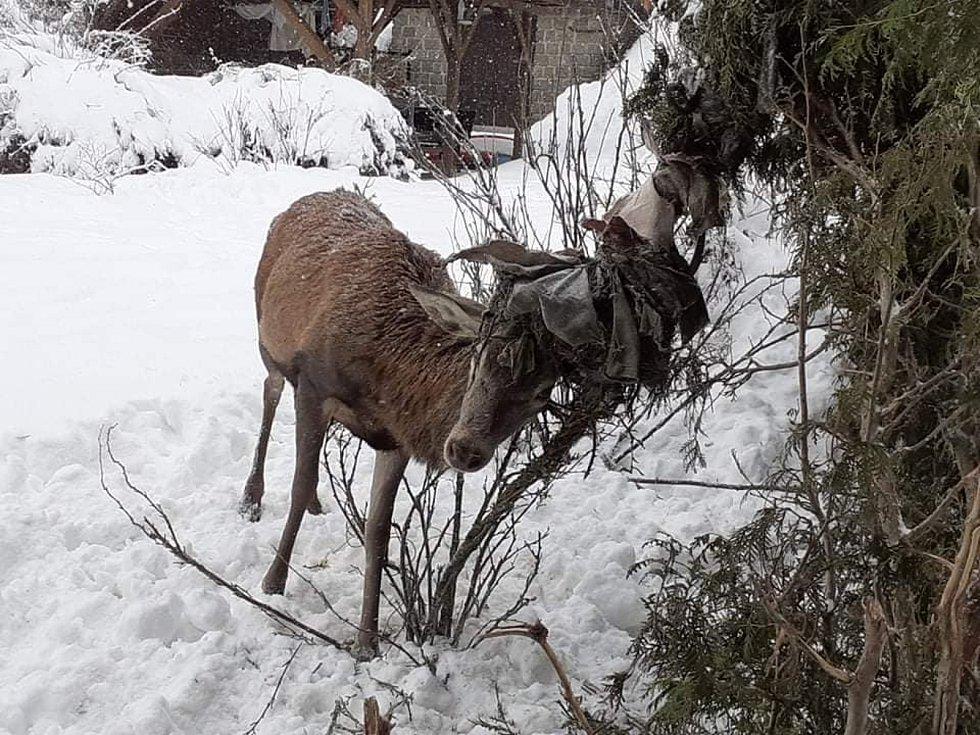 Záchrana jelena uvězněného v síti na jedné z pryskovských zahrad.