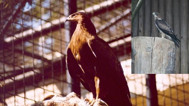 (Vlevo)OREL KŘIKLAVÝ. Přírůstek liberecké zoo. Foto: Zoo Liberec ;(vpravo) OREL NEJMENŠÍ. Přírůstek liberecké zoo.Foto: Zoo/Luboš Melichar