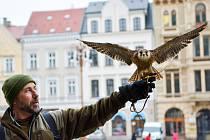 V centru Liberce začal holuby plašit sokolník Alexadr Vrága se svým svěřencem Čikem.