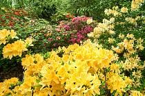 Kvetoucí pěnišníky v Botanické zahradě Liberec.