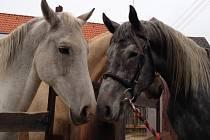 Koně. Ilustrační snímek
