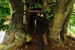 Tisíciletá lípa, která bojuje o prvenství v soutěži Evropský strom roku.