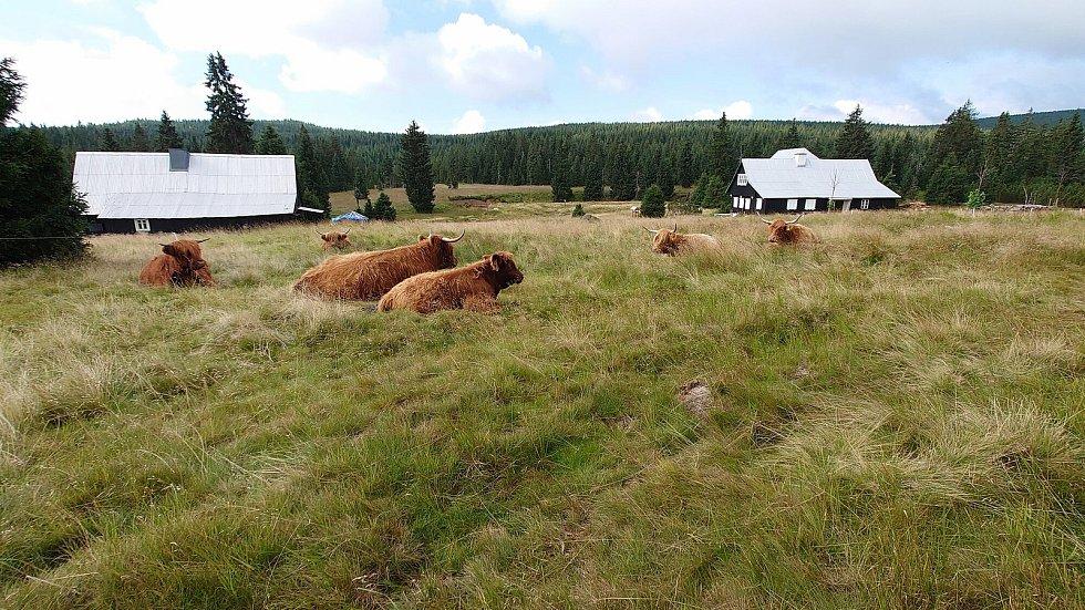 V osadě Jizerka se pasou skotské krávy.