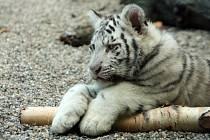 Mláďata bílých tygrů se mají čile k světu.