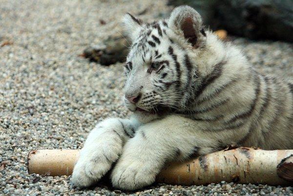 Mláďata bílých tygrů se mají čile ksvětu.