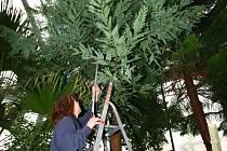 Sekvoj vždyzelená v Botanické zahradě
