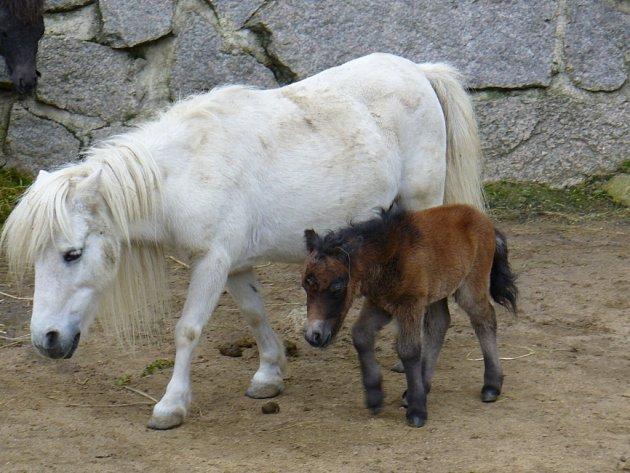 MÁMA S DCEROU. Malá samička pony shetlandského má hnědou srst. Jako maminka bude vypadat až v dospělost