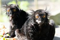 Lemur černý v liberecké zoo.