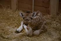 Žirafí sameček