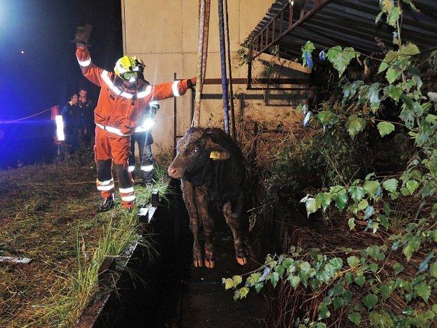 Do nádrže s vodou spadla dvě telata.