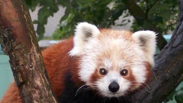 Zoo má poprvé mláďata pandy červené.
