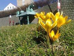Žluté krokusy rozsvítily centrum Liberce. Jde o květiny, které loni na podzim sázeli u synagogy, Gymnázia F. X. Šaldy a na Fügnerově ulici čeští a němečtí studenti.