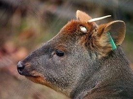 Liberecká zoo získala nejmenšího jelena na světě, pudu jižního.
