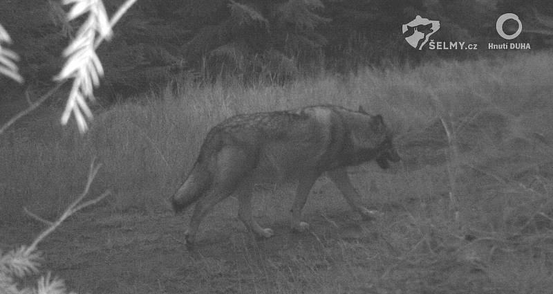 Vlk v Jizerských horách zachycený fotopastí.