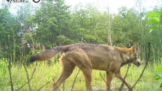 Vlk na Frýdlantsku.
