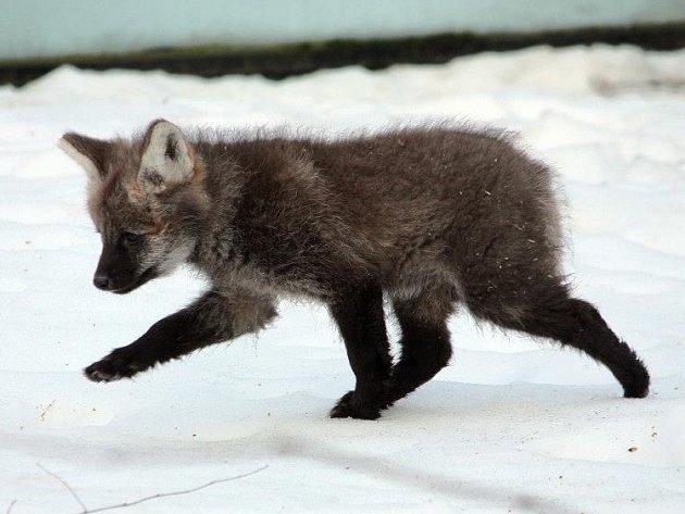 Dlouhé nohy umožňují vlkům vidět přes vysokou trávu, zkosené drápy usnadňují pohyb v bažinatém prostředí.