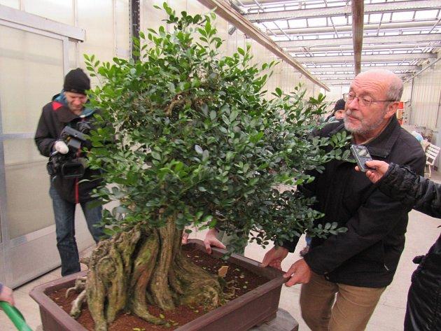 V PŘÍRODĚ dorůstá muraja až 8 metrů, zatímco 337 let stará bonsaj měří 1,4 metru.