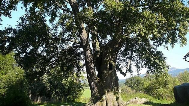 Uprostřed návsi ve vesničce Kotel pak stojí svým stářím, vitalitou, krásou a nezdolností ohromující tisíciletá lípa.