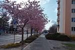 Nádražní ulice v Turnově. Rozkvetlé sakury.