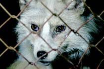Oživlé obrazy, avšak nepříliš líbivé na pohled, spatřili ve středu navečer Liberečané před radnicí. Organizace OBRAZ chce tímto způsobem upozornit na nehumánní a drastické podmínky a životy zvířat na kožešinových farmách v České republice.