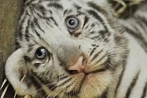 Bílý tygr křtiny