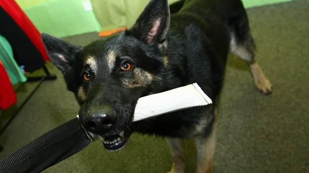 ZKUŠENÍ CHOVATELÉ SE S VÁMI PODĚLÍ O ŘADU POZNATKŮ Z PRAXE. Například, které vodítko je vhodné, aby vám, pokud pes zabere, nespálilo ruku, který kovový obojek vypadá bezpečně, ale bezpečný není.
