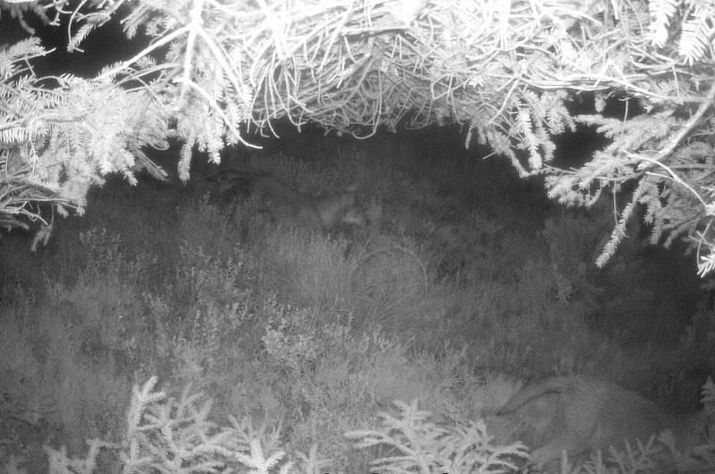 Vlků přibývá. Vlčata se letos narodila v Lužických horách, Šluknovsku i Českém Švýcarsku