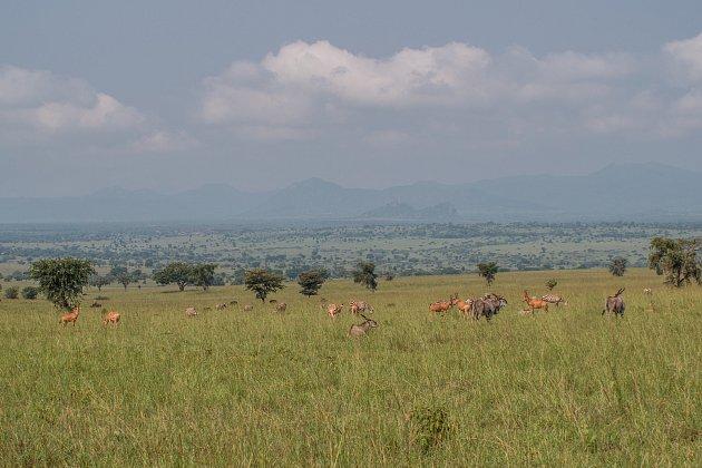Zebry bezhřívé, Uganda.