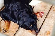 CAYA SI OHRYZALA NOHU DO MASA POTÉ, CO SI DO NÍ NĚCO VRAZILA a majitelé nevyhledali veterináře, aby psovi pomohl. Případ se táhne už od loňského listopadu.