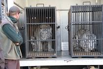 Transport zabavených bílých tygřic.