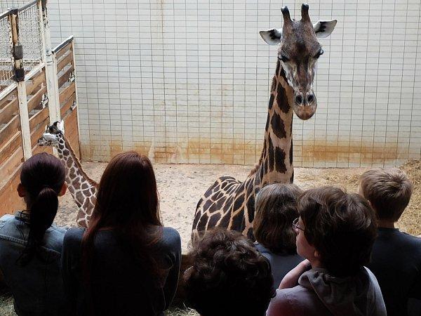 Den žiraf má upozornit na fakt, že žiraf ve volné přírodě rychle ubývá.