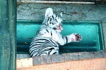 Mládě bílého tygra v liberecké zoo.
