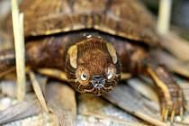 Výstavu je možno v shlédnout v Malém sále muzea do 28. listopadu. Želva nádherná.