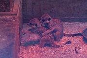 Tři mláďata surikaty se narodila v polovině února v Liberecké zoologické zahradě. Snímek je z 21. března.