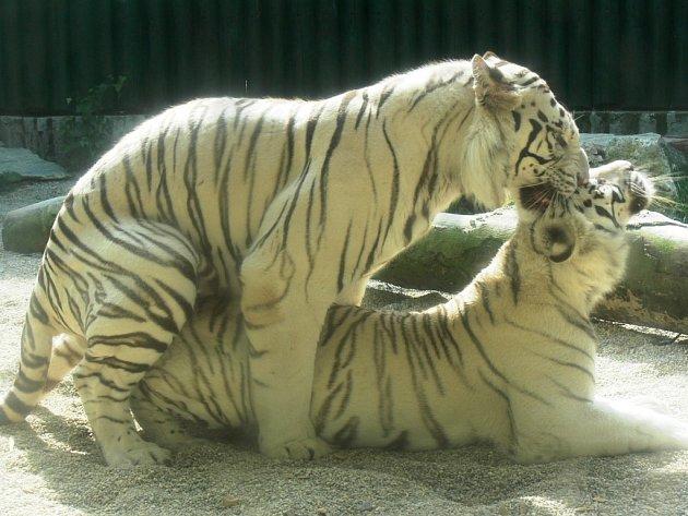 Z červnového páření Parida a Isabelly v roce 2008 nakonec malý tygřík nevzešel.