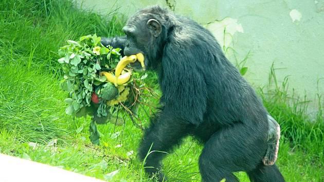 Liberecké šimpanzice Janis a Tessan (na snímku) oslavily 25. narozeniny.