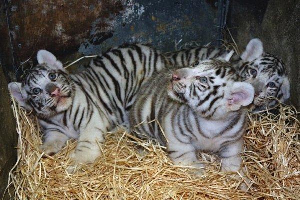 Hvězdami liberecké ZOO se stala mláďata bílých tygrů.