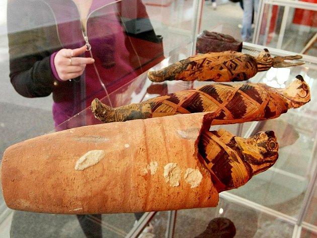 SOUČÁSTÍ EXPOZICE VÝSTAVY KRÁLOVNY NA NILU jsou, kromě mumie mladé ženy, i těla tří mumifikovaných sokolů.