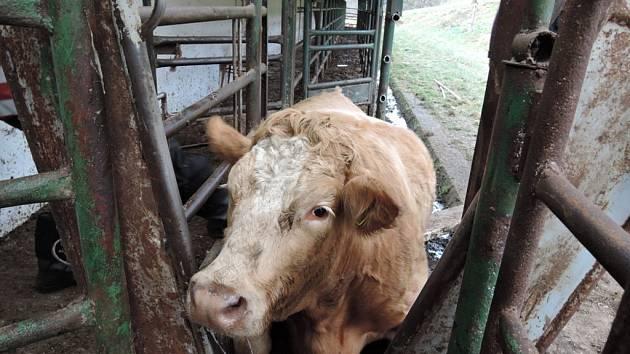 Kráva uvízla mezi trubkami, hasiči je rozřezali.