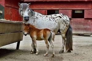 Sameček koně domácího - mini appaloosa.